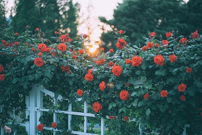 tuin met rozen